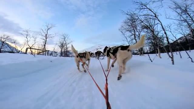 Huskies Pulling Sled Pov Dog Sled Handler Husky